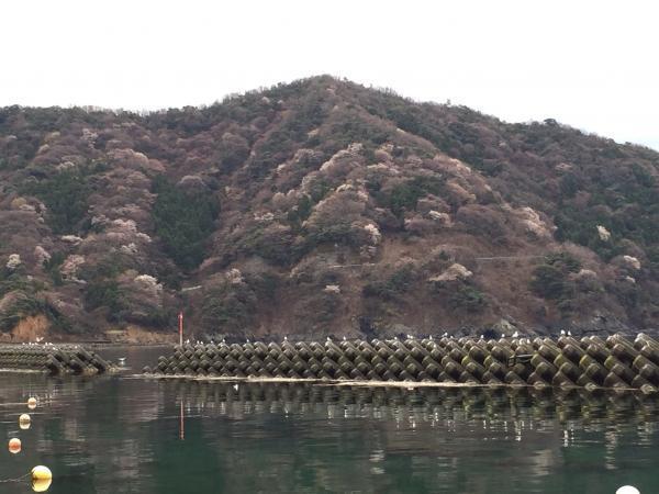 福井常神半島の山桜