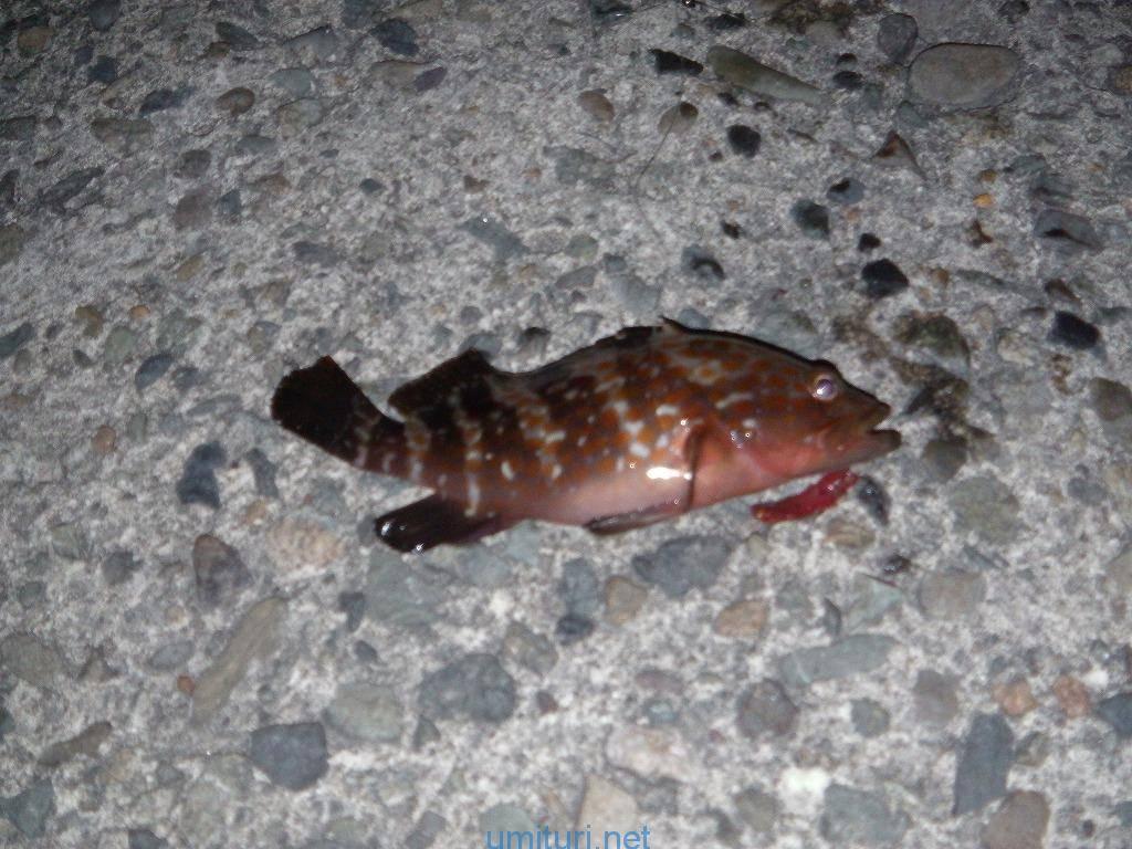 キジハタ釣り~ダイバーが見た生態から考察する釣り方