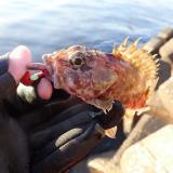 カサゴ釣りに最も効果的なエサはどれがいいのか?