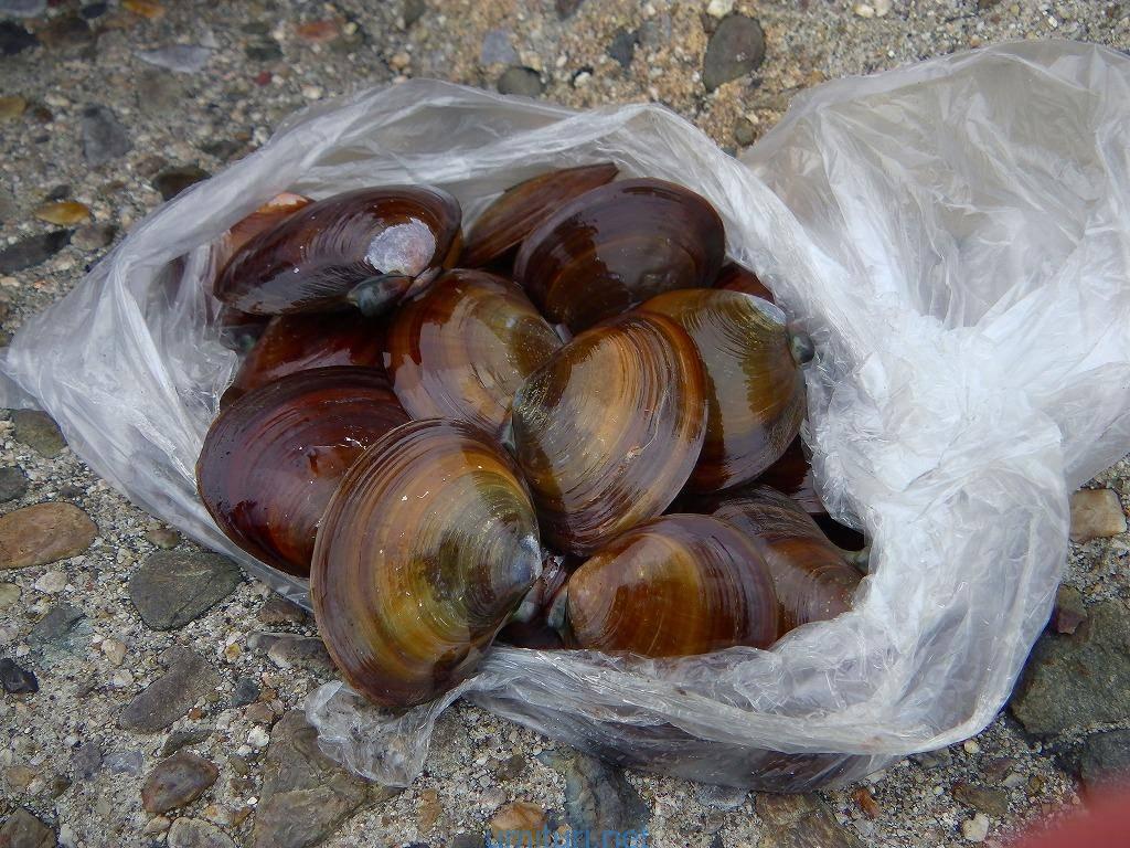 アケミ貝で何が釣れる?釣れる魚とハリへの刺し方