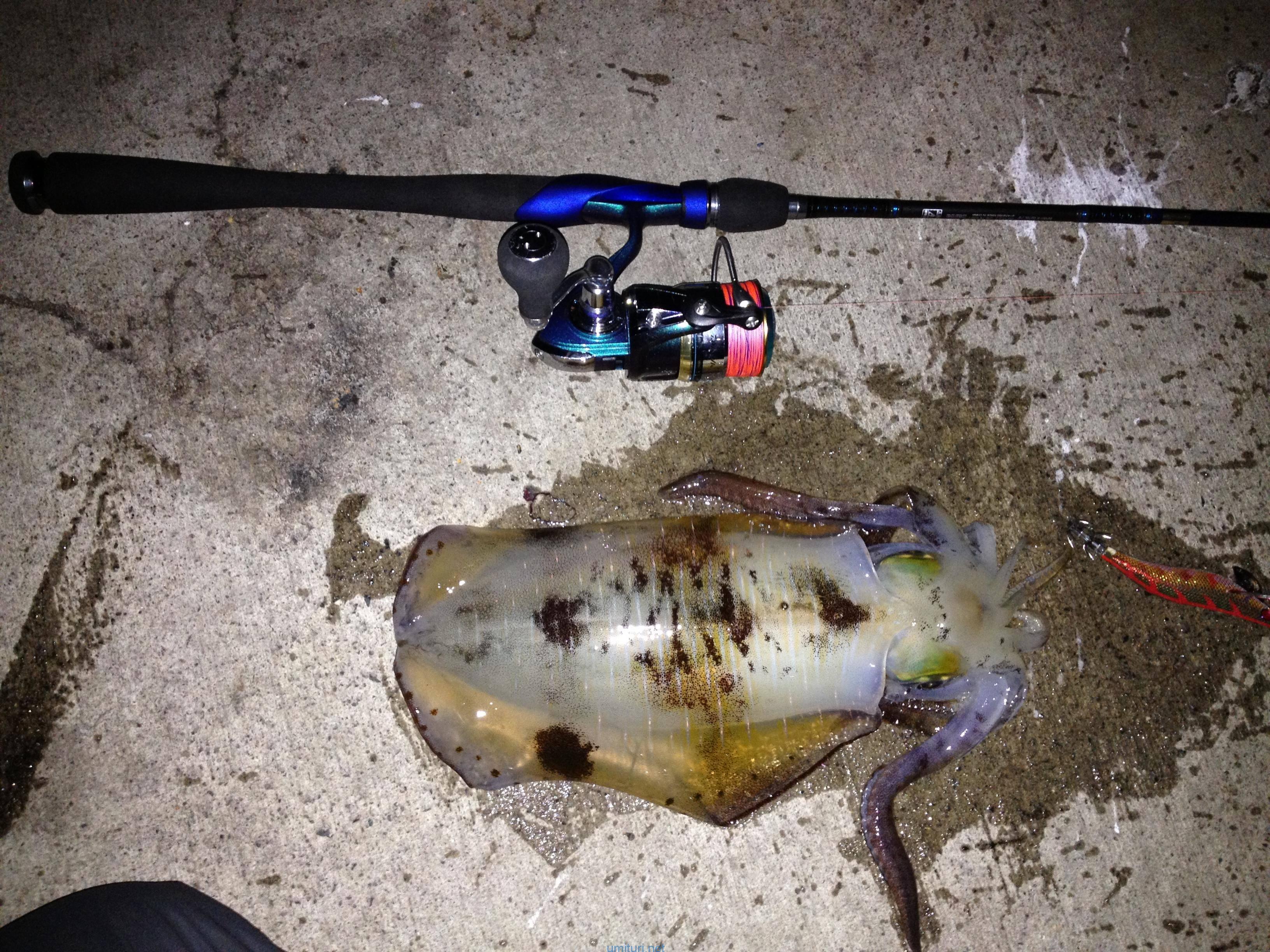 堤防から釣る!アオリイカの生態を釣り人目線で知る