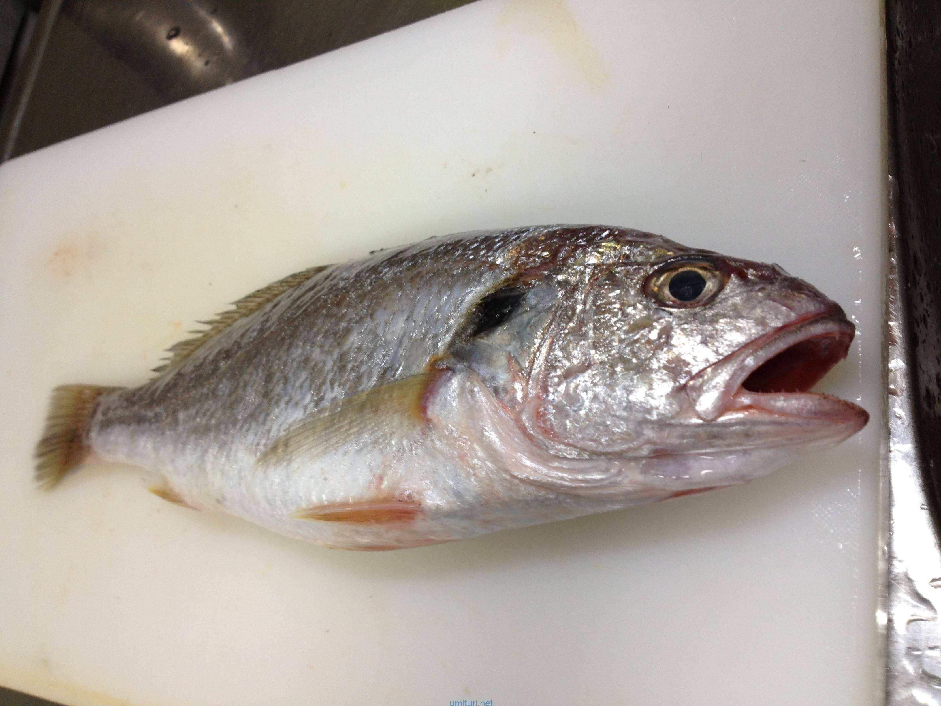 イシモチの釣れる時期と釣り方を生態から考察
