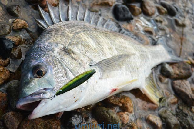チヌ(クロダイ)をルアーで釣る仕掛けとルアーのアクション