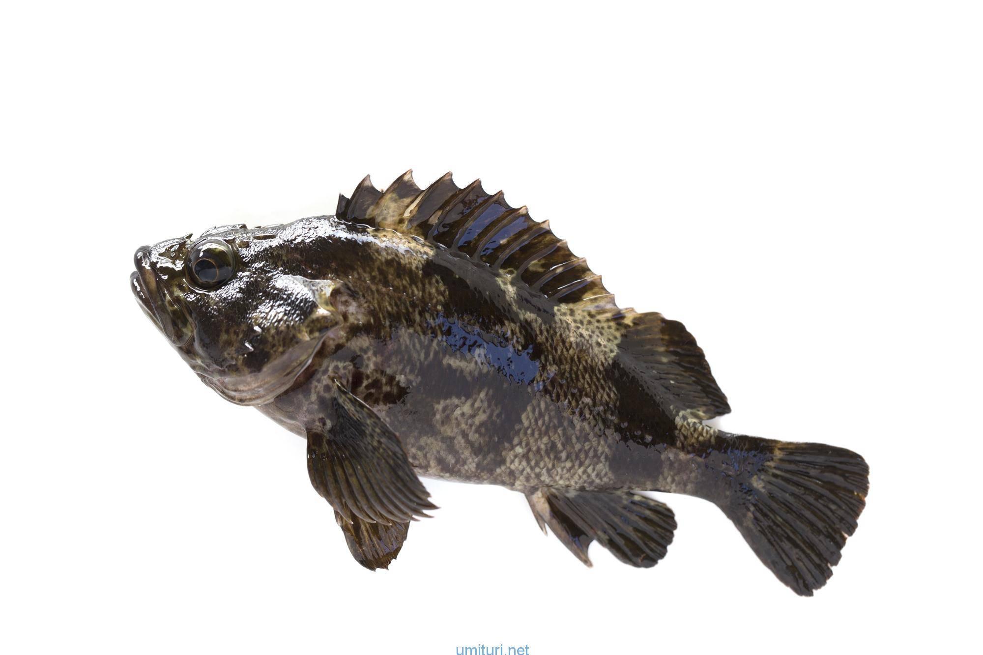 ムラソイを釣る!釣れる時期と仕掛けの考察