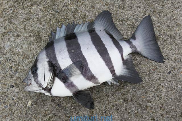 堤防からも釣れるサンバソウの仕掛けと釣れる時期考察