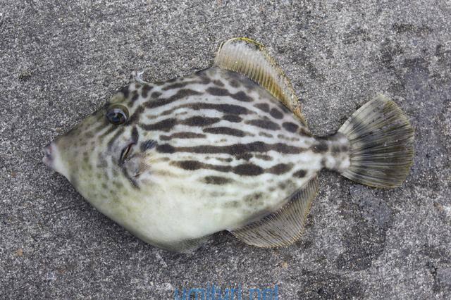 カワハギは堤防から釣れる?釣れる時期と生態の釣り人的考察