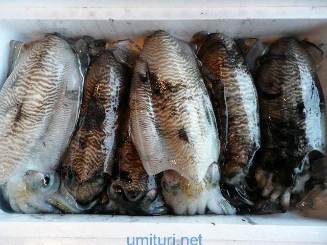 コウイカが堤防釣りで釣れる時期は?生態を釣り人目線で検証