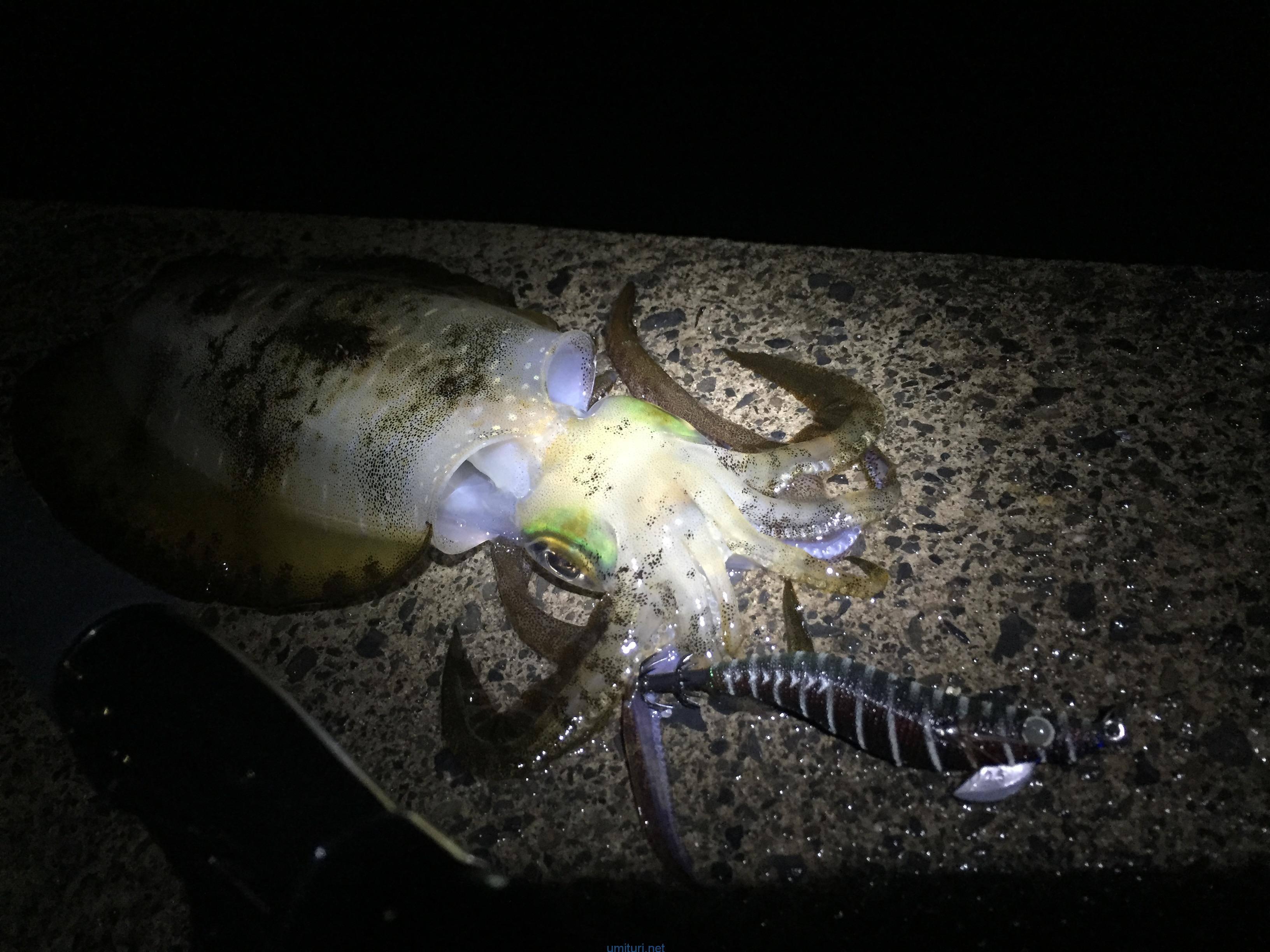 11月入ってからの堤防で中型アオリイカエギングのコツを検証