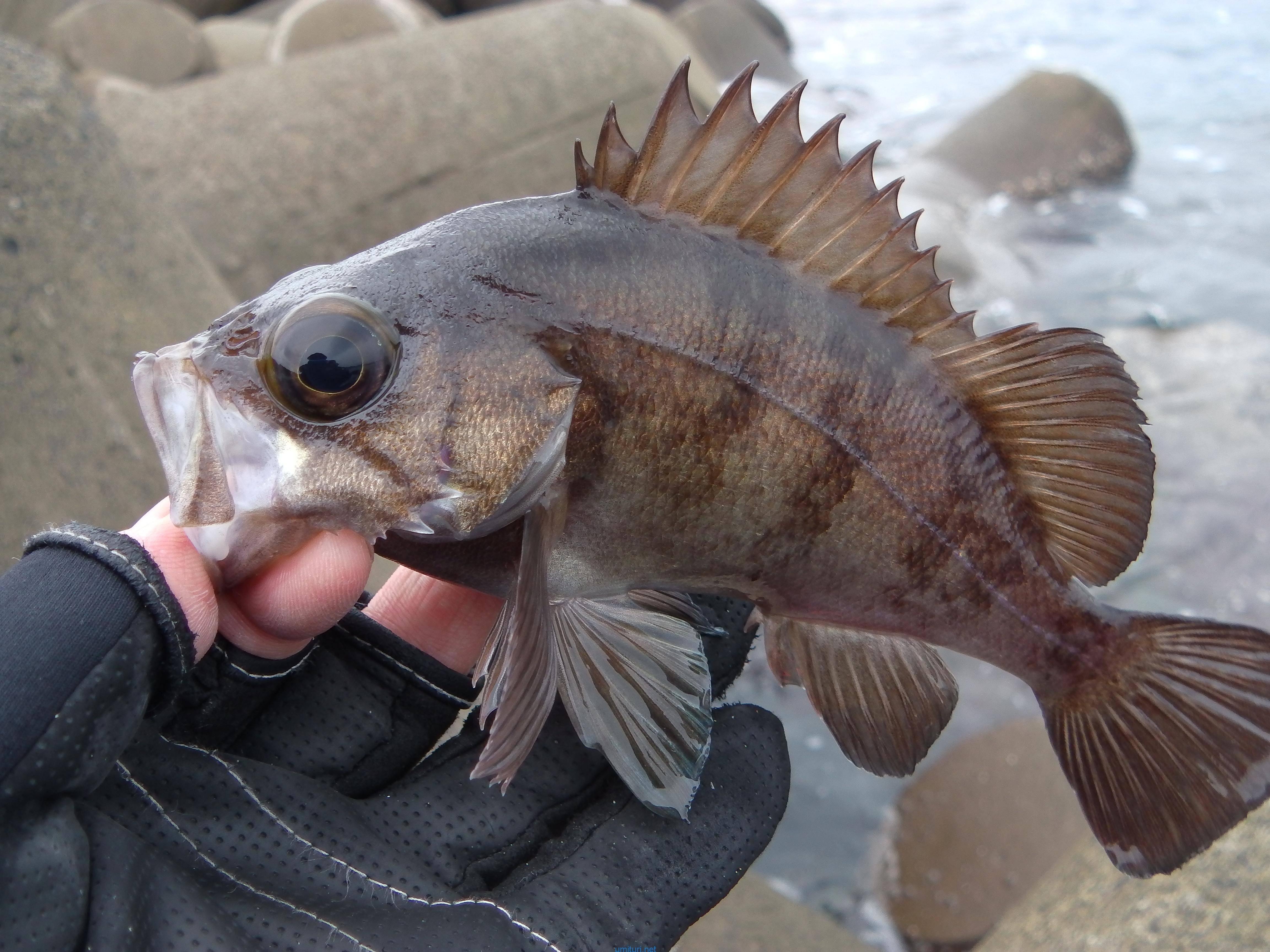 日本海敦賀のテトラでメバリング!外道と小型に遊ばれた釣行