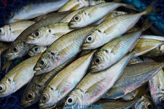 6月の海で釣れる魚【梅雨の時期の堤防釣りで狙う魚考察】