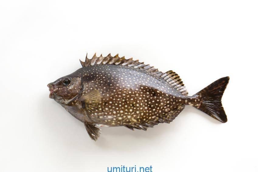 アイゴが釣れた時の対処法!ヒレの毒針に注意だが釣っては楽しい魚