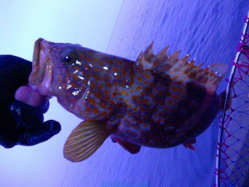 越前海岸にてフカセ釣り五目!良型のキジハタと意外なサヨリの回遊