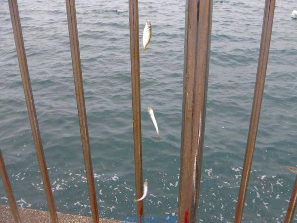 敦賀新港の豆アジ釣り