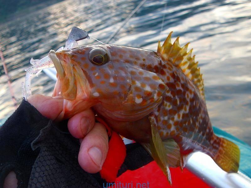 キジハタをワインド釣法で釣る!根掛かりの多い磯場での切り札