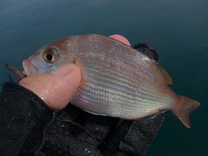 マダイの幼魚チャリコ