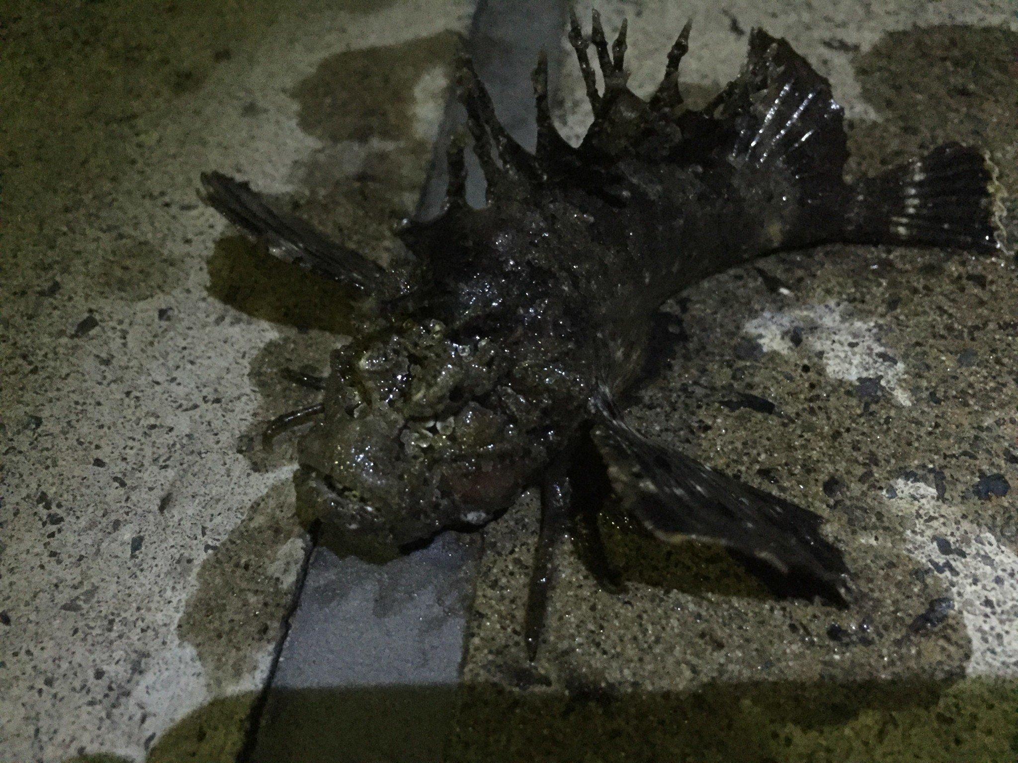 ゴミ?と見間違う毒魚「オコゼ」に注意!釣れたものに不用意に触らない