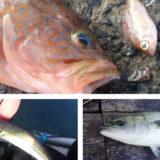 アジを釣ったら泳がせ釣り!簡単仕掛けで釣れる魚