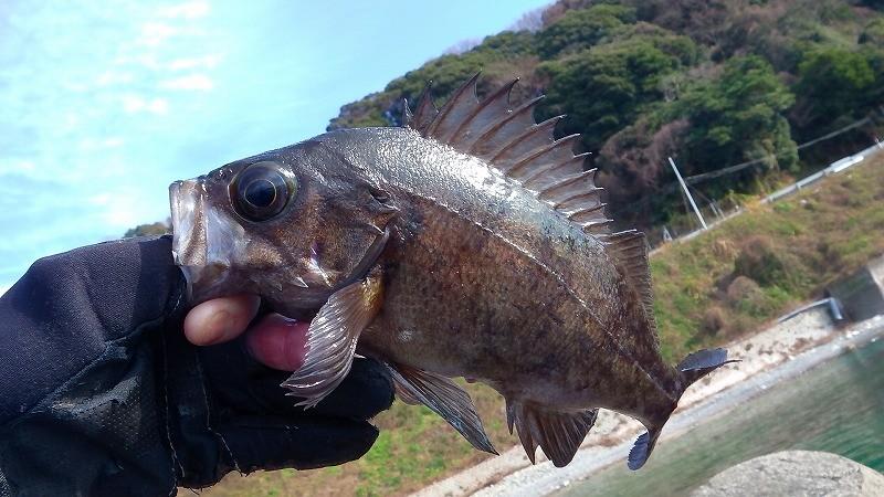 3月の堤防で釣れる魚!季節の変わり目で釣りモノ多数