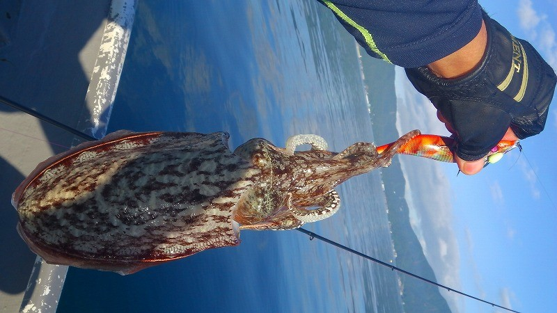 実釣コウイカエギング!エギに重りを付けて海底をしつこく攻める