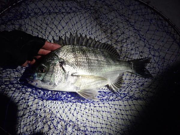 夜釣りで釣ったクロダイ