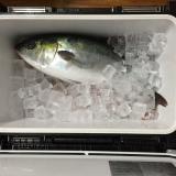 釣った魚の血抜きと食べるための下処理で参考にしてるプロの技