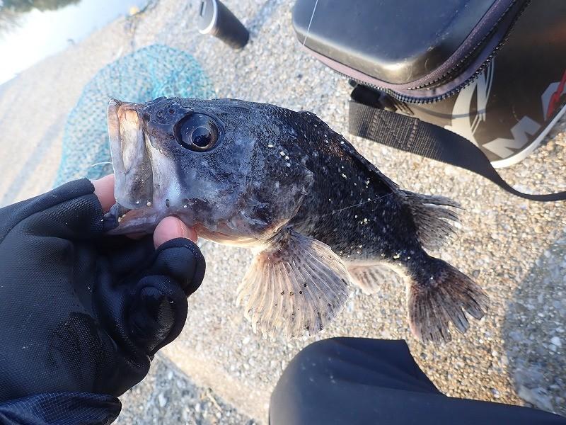 ルアー釣りできる海上釣り堀「美浜フィッシングパーク」で釣る