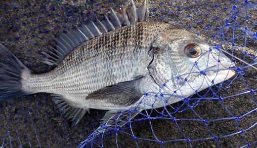 チヌ(クロダイ)のウキフカセ釣りの半誘導仕掛けと釣り方手順