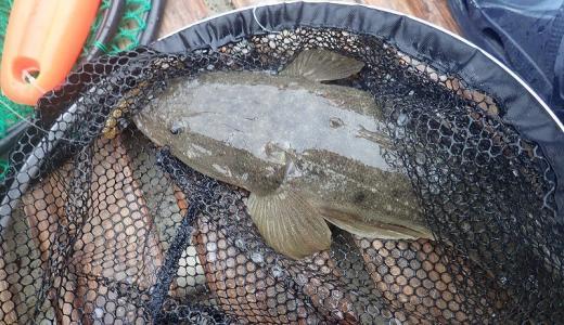 マゴチが釣れる時期と狙う場所の考察「生態と釣れるエサ」