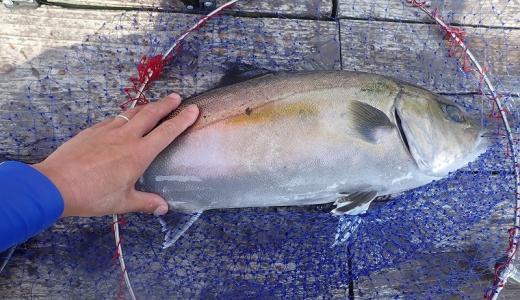 海上釣り堀の青物を根こそぎ釣る「追い食い」メソッドの実態と注意点