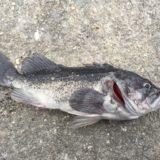美浜フィッシュングパークで1月の初釣り釣果とクロソイルアー釣りの攻め方