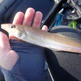 敦賀湾良型キス好調!泳がせ釣りで大物も狙える手軽なボート釣りが楽しい