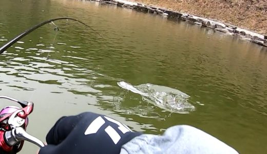 雪の舞う戸神の池|氷点下でも水面に飛び出すブラントラウトが面白い