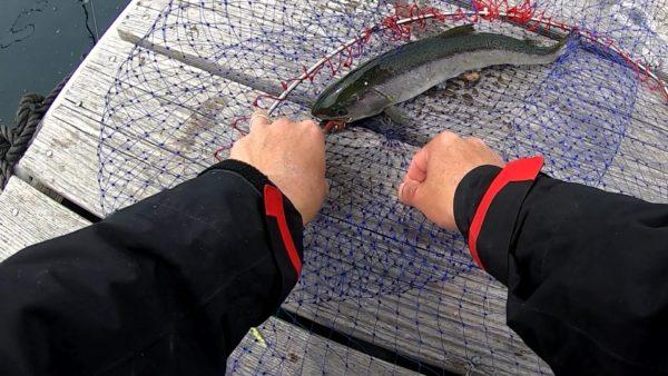 春の釣堀で釣れた養殖サクラマス