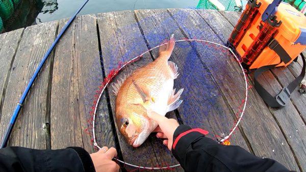 釣堀で釣ったマダイ