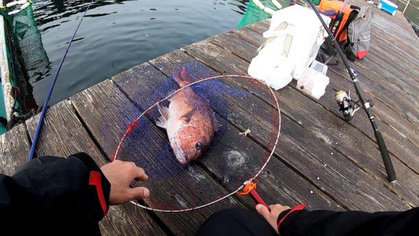 釣堀で釣れた綺麗なマダイ