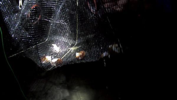 お魚キラーでテナガエビを採取する