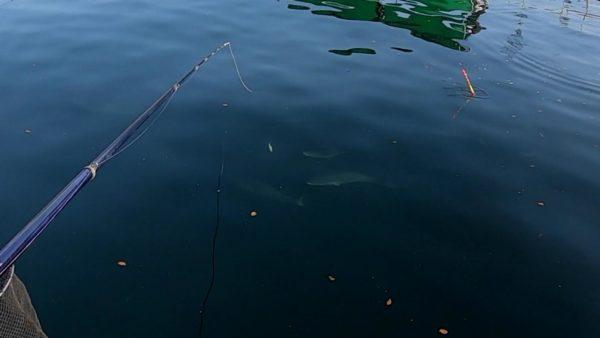 釣堀のイケスを泳ぎ回る青物